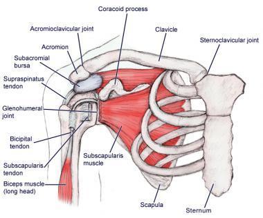 אנטומיה של הכתף 2